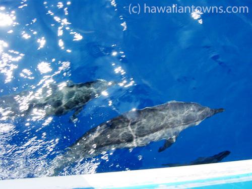 ハワイ島の野生イルカ