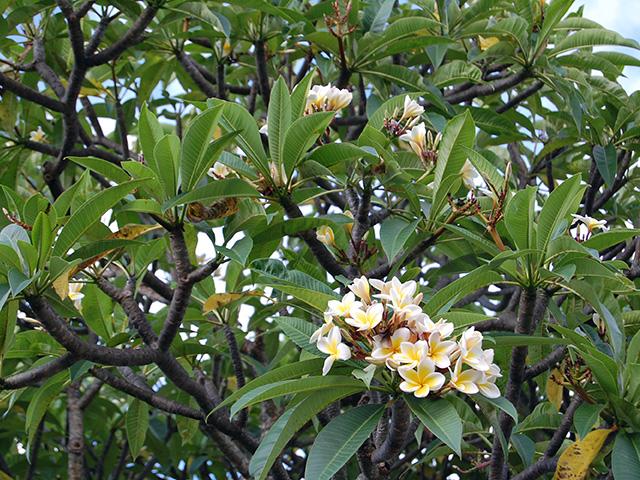 小さな花がたくさん咲くプルメリアの木を発見