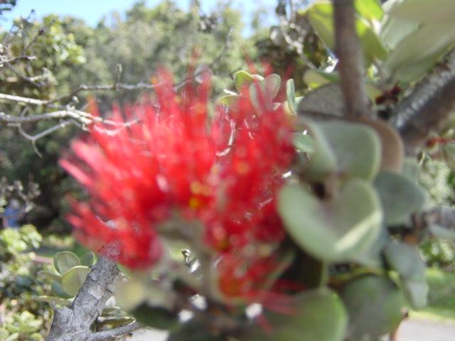 キラウエアに咲くオヒアレフア