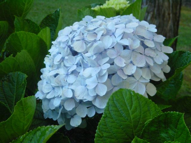 日本と同じ種とみられる紫陽花