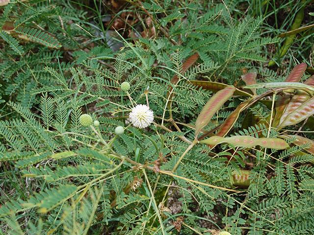 オジギソウに似た葉と豆果