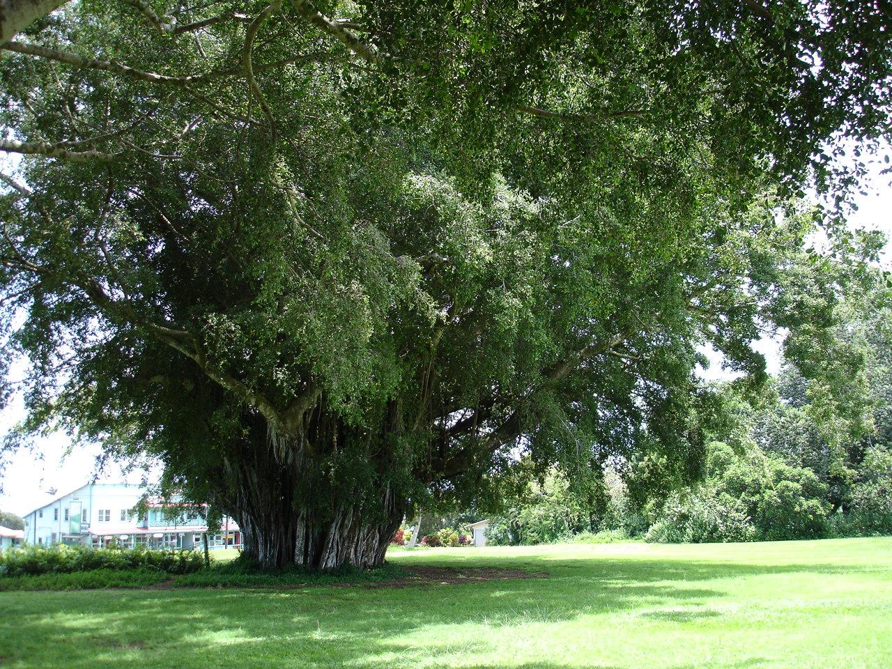 立派なバニヤンツリー