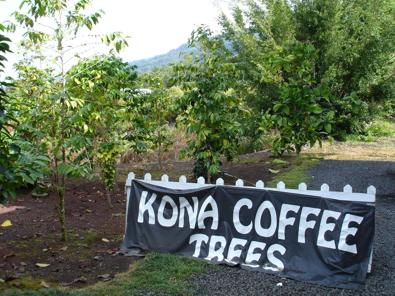 コナコーヒーの木を手軽に見ることができます
