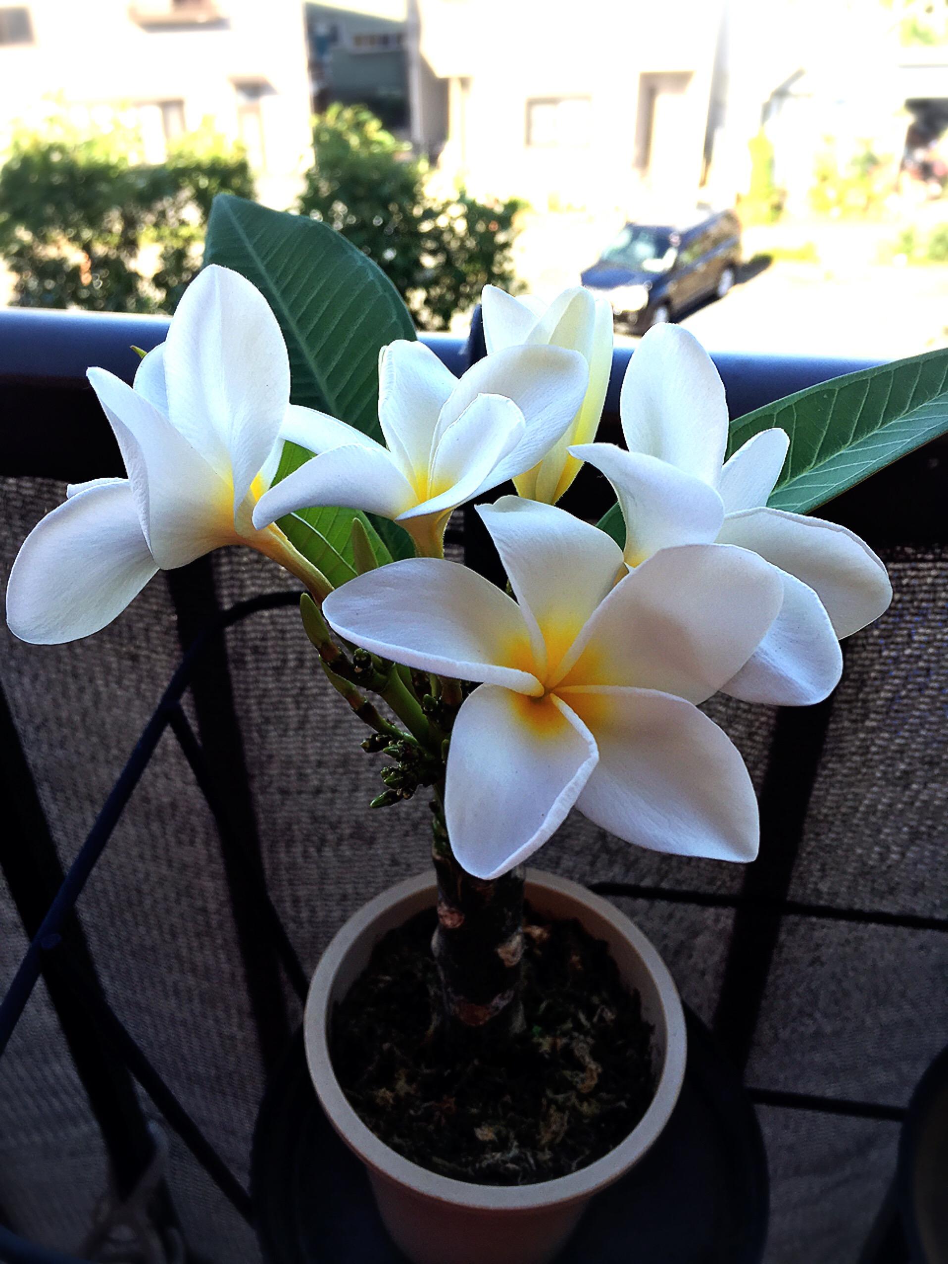 ハワイで買った苗木